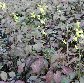 Epimedium pinnatum ssp. colchicum Elfenblume - Bild vergrößern