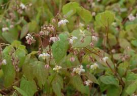 Elfenblume, Epimedium pubigerum - Bild vergrößern