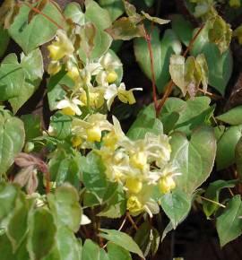 Epimedium x versicolor 'Sulphureum'  Elfenblume - Bild vergrößern
