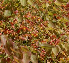 Epimedium x warleyense  Elfenblume - Bild vergrößern