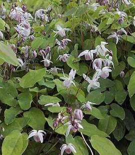 Epimedium x youngianum 'Roseum'  Elfenblume - Bild vergrößern