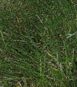 Equisetum scirpoides, Sumpfschachtelhalm - Bild vergrößern
