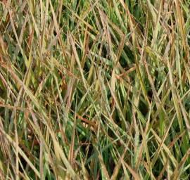 Eragrostis spectabilis, Liebesgras - Bild vergrößern