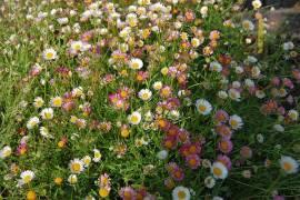 Spanisches Gänseblümchen, Erigeron karvinskianus - Bild vergrößern