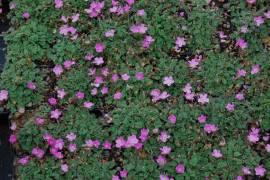 Reiherschnabel, Erodium variabele 'Bishop's Form' - Bild vergrößern