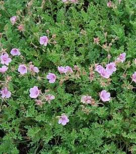 Reiherschnabel, Erodium Hybriden 'Country Park' - Bild vergrößern
