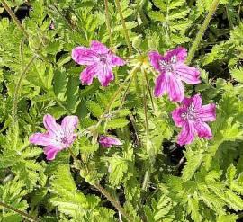 Erodium manescavii, Reiherschnabel - Bild vergrößern