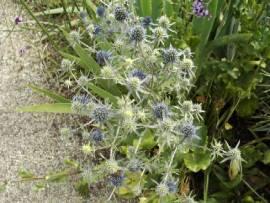 Eryngium planum 'Blauer Zwerg', Mannstreu, Edeldistel - Bild vergrößern