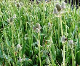Eryngium agavifolium, Agaven-Distel,Mannstreu, Edeldistel - Bild vergrößern