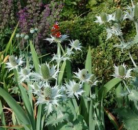 Eryngium giganteum, Edeldistel, Mannstreu - Bild vergrößern