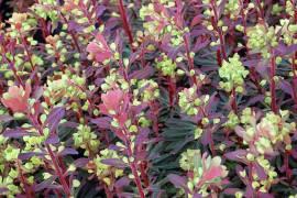 Euphorbia amygdaloides 'Purpurea' Wolfsmilch - Bild vergrößern