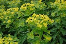 Euphorbia cornigera 'Goldener Turm', hohe  Wolfsmilch - Bild vergrößern
