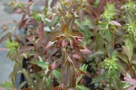 Euphorbia dulcis ssp. purpurata 'Chamaeleon'  dunkelblättrige Wolfsmilch - Bild vergrößern