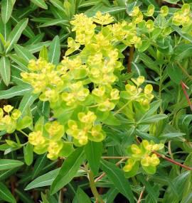 Euphorbia palustris 'Walenburg's Glory', Sumpfwolfsmilch - Bild vergrößern
