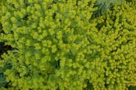 Wolfsmilch, Euphorbia seguieriana ssp. niciciana - Bild vergrößern
