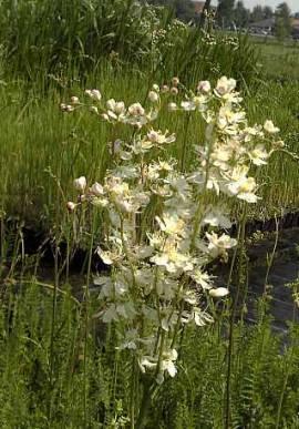 Filipendula vulgaris, Mädesüß - Bild vergrößern