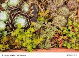 Sortiment Dachbegrünung Sedum u. Sempervivum, 50 Stück - Bild vergrößern