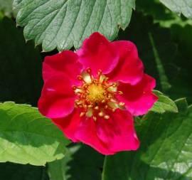 Fragaria vesca 'Red Ruby', Walderdbeere - Bild vergrößern