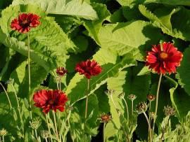 Kokardenblume, Gaillardia aristata, 'Burgunder' - Bild vergrößern