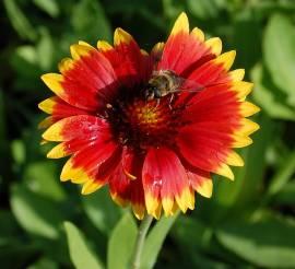 Gaillardia aristata, 'Tokajer', Kokardenblume - Bild vergrößern
