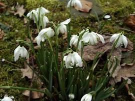 Schneeglöckchen, gefülltes, Galanthus nivalis 'Flore Plena' - Bild vergrößern