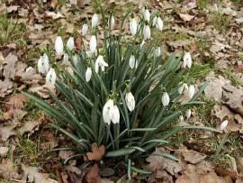 Galanthus nivalis, Schneeglöckchen - Bild vergrößern