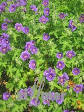 Geranium magnificum 'Blue Blood', Storchschnabel - Bild vergrößern