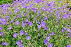 Storchschnabel, blau, Geranium pratense Hybr. 'Orion' - Bild vergrößern