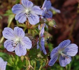 Geranium pratense 'Mrs Kendall Clark', Storchschnabel - Bild vergrößern