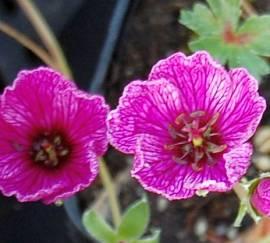 Geranium cinereum 'Purple Pillow', grauer Storchschnabel - Bild vergrößern