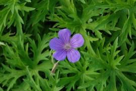 Geranium Collinum-Hybride 'Nimbus' Storchschnabel - Bild vergrößern