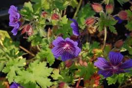 Geranium ibericum 'Vital', Storchschnabel - Bild vergrößern