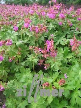Geranium macrorrhizum, purpurrot, Storchschnabel - Bild vergrößern