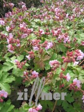 Geranium macrorrhizum 'Ingwersen', violettrosa, Storchschnabel - Bild vergrößern