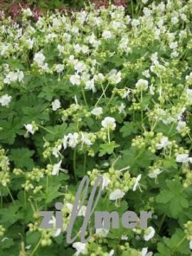 Geranium macrorrhizum 'White Ness', weiß, Storchschnabel - Bild vergrößern