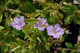 Geranium nodosum 'Svelte Lilac', lilarosa, Storchschnabel - Bild vergrößern