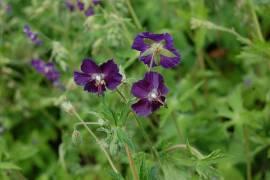 Storchschnabel, lila, Geranium phaeum 'Lily Lovell' - Bild vergrößern