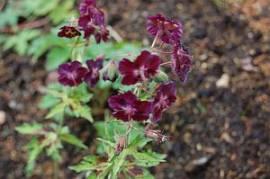 Geranium phaeum 'Springtime', Storchschnabel,violett - Bild vergrößern
