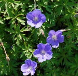 Geranium pratense Hybr. 'Brookside' Storchschnabel, blau - Bild vergrößern