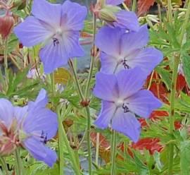 Geranium pratense Hybr. 't'Sticht' Storchschnabel, violettblau - Bild vergrößern