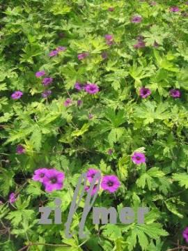 Geranium procurrens 'Ann Folkard' Storchschnabel - Bild vergrößern