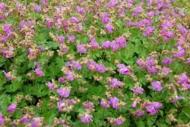 Geranium cantabrigiense 'Karmina', niedriger Storchschnabel - Bild vergrößern
