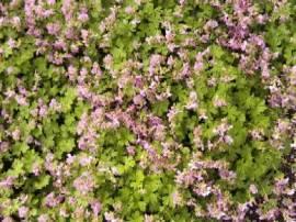 Geranium cinereum var. subcaulescens, grauer Storchschnabel - Bild vergrößern