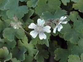 Geranium renardii, Kaukasus - Storchschnabel - Bild vergrößern