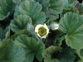 Nelkenwurz, Geum Hybride 'Lemon Drops' - Bild vergrößern