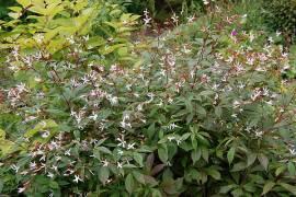 Dreiblattspiere, Gillenia trifoliata - Bild vergrößern