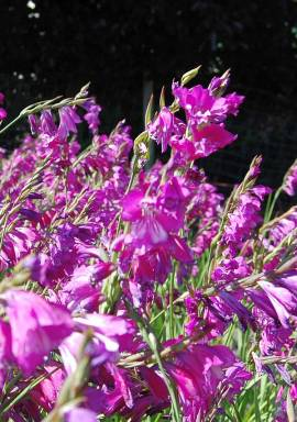 Gladiolus palustris, Sumpf Siegwurz - Bild vergrößern
