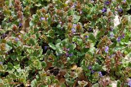 Glechoma hederacea Gundermann - Bild vergrößern