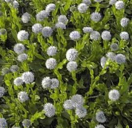 Globularia punctata, Gewöhnliche Kugelblume - Bild vergrößern