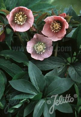 Helleborus Orientalis -Hybride 'Pink Lady',Lenzrose - Bild vergrößern